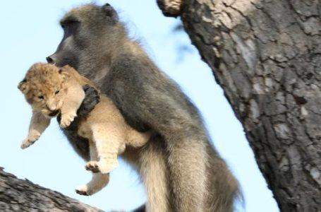 Un babouin reproduit une scène culte du roi lion